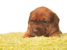Cute one month old puppy. Closeup of cute one month old puppy isolated on white Stock Images