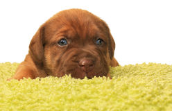 Cute one month old puppy. Closeup of cute one month old puppy isolated on white Royalty Free Stock Photography