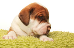 Cute one month old puppy. Closeup of cute one month old puppy isolated on white Royalty Free Stock Images