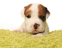 Cute one month old puppy. Closeup of cute one month old puppy isolated on white Royalty Free Stock Image
