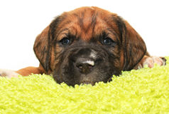 Cute one month old puppy. Closeup of cute one month old puppy isolated on white Stock Photos