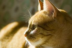 Cute orange cat. Lovely cat relaxing on the sun shine Stock Image