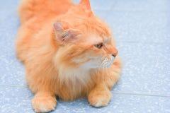 Cute orange cat lying on the floor Stock Photography