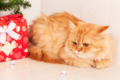 Cute orange cat with red gift  box Royalty Free Stock Photos