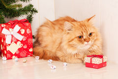 Cute orange cat with red gift  box Stock Image
