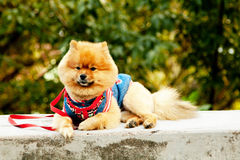 Cute orange color Spitz in clothes royalty free stock image