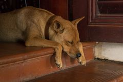 Beautiful Yellow-haired Dog Sleeping on Doorstep with Cute Paws - Analogous Colors - Puppy with Short Hair stock image