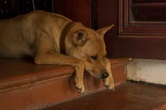 Cute Orange Dog Sitting on Doorstep in Weird Position - Bored Puppy - Analogous Color Scheme royalty free stock images