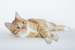 Cute orange domestic cat. Isolated on the white Stock Images