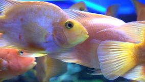 Cute Orange Fish in Aquarium. Blue background. 4K UltraHD, UHD
