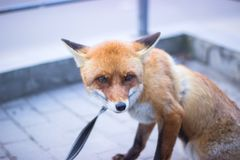 cute orange fox on a street, tied by rope royalty free stock image