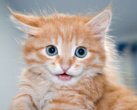 Cute orange kitten with blue eyes Royalty Free Stock Photo