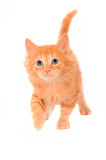 Cute Orange Kitten Stock Photography