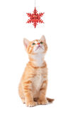 Cute Orange Kitten Playing with a Christmas Ornament on White. Cute orange kitten playing with a red Christmas snowflake ornament on a white background stock images
