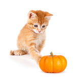 Cute orange kitten playing with a mini pumpkin on white. Royalty Free Stock Photography