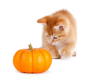 Cute orange kitten playing with a mini pumpkin on white. Royalty Free Stock Photo