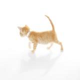 Cute Orange Kitten Stock Images