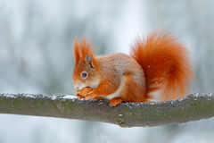 Cute orange red squirrel eats a nut in winter scene with snow, Czech republic. Wildlife scene from snowy nature. Animal behaviour. Stock Photography