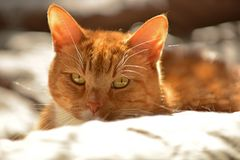 Cute orange cat in sunshine Royalty Free Stock Photos