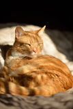 Cute orange cat in sunshine Royalty Free Stock Images