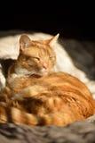 Cute orange cat in sunshine Royalty Free Stock Images