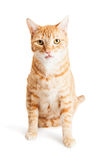 Cute Orange Tabby Cat Sitting Tongue Out Stock Image