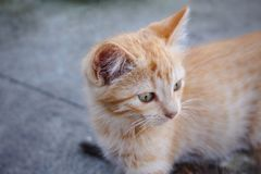 Cute orange tabby kitty looking attentively to horizon, with focus on cat`s head. Cute horizontal photo of an orange tabby kitty looking attentively to horizon stock image