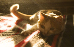 Cute orange and white cat close up lying in sunlight. Stock Images