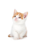 Cute orange and white kitten looking up on a white background. Royalty Free Stock Photo