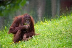 Cute orangutan. On the grass Royalty Free Stock Photography