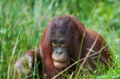 Cute orangutan Stock Images