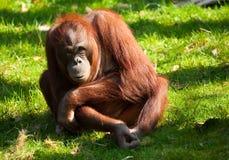 Cute orangutan Stock Photography