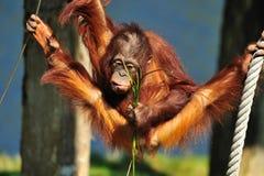 Cute orangutan Royalty Free Stock Image