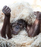 Cute orangutan hiding under hay Stock Photo