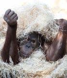 Cute orangutan hiding under hay. In a zoo Stock Photo