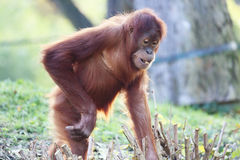 Cute orangutan Royalty Free Stock Photography