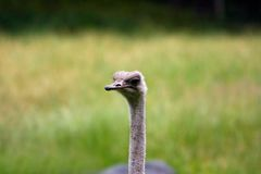 Cute Ostrich face Royalty Free Stock Photo