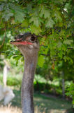 Cute ostrich. Portrait of an cute ostrich Royalty Free Stock Photo