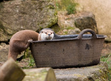 Cute Otter royalty free stock image