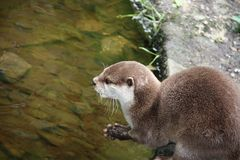 Cute Otter. Royalty Free Stock Image