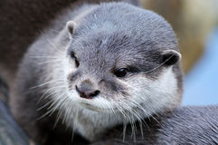 Cute otter Stock Images