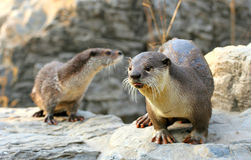 Cute Otters. Otters are semi-aquatic fish-eating mammals. Otters are very active, chasing prey in the water or searching the beds of rivers, lakes or the sea Royalty Free Stock Image