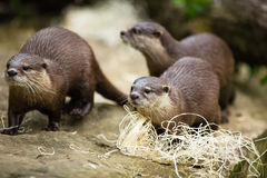 Cute otters - Eurasian otter Stock Image