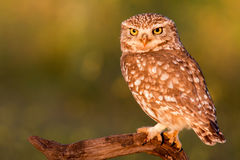 Cute owl Stock Photos