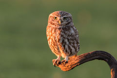 Cute owl Stock Photo