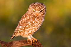 Cute owl Royalty Free Stock Photo