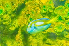 Cute Pacific regal blue tang fish (Paracanthurus hepatus) is swi. Mming in aquarium. Paracanthurus hepatus is a species of Indo-Pacific surgeonfish Stock Photography