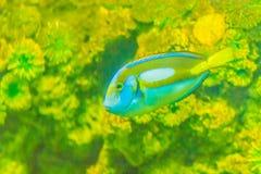 Cute Pacific regal blue tang fish (Paracanthurus hepatus) is swi. Mming in aquarium. Paracanthurus hepatus is a species of Indo-Pacific surgeonfish Stock Photos