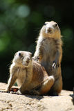 Really Cute Pair of Black Tailed Prairie Dogs Stock Photography