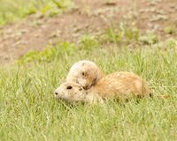 Black-tailed prairie dogs preening each other stock photo